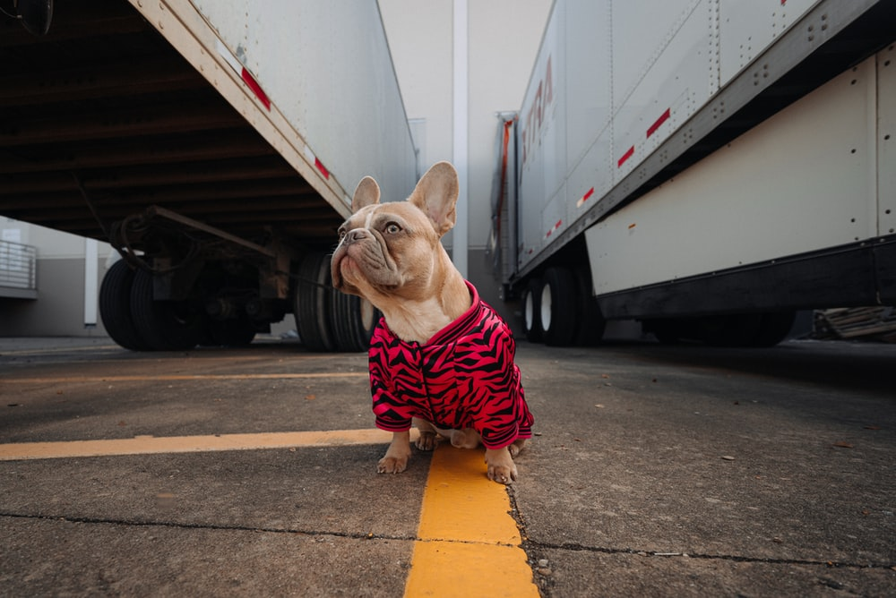 brown pug wearing red and black plaid shirt and red and black plaid scarf