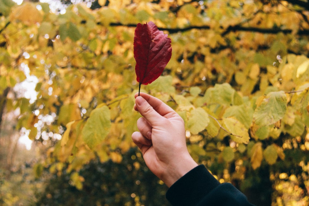 person holding red maple leaf