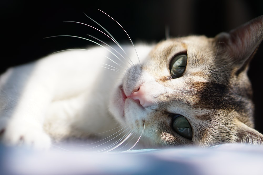 white and brown cat lying on white textile