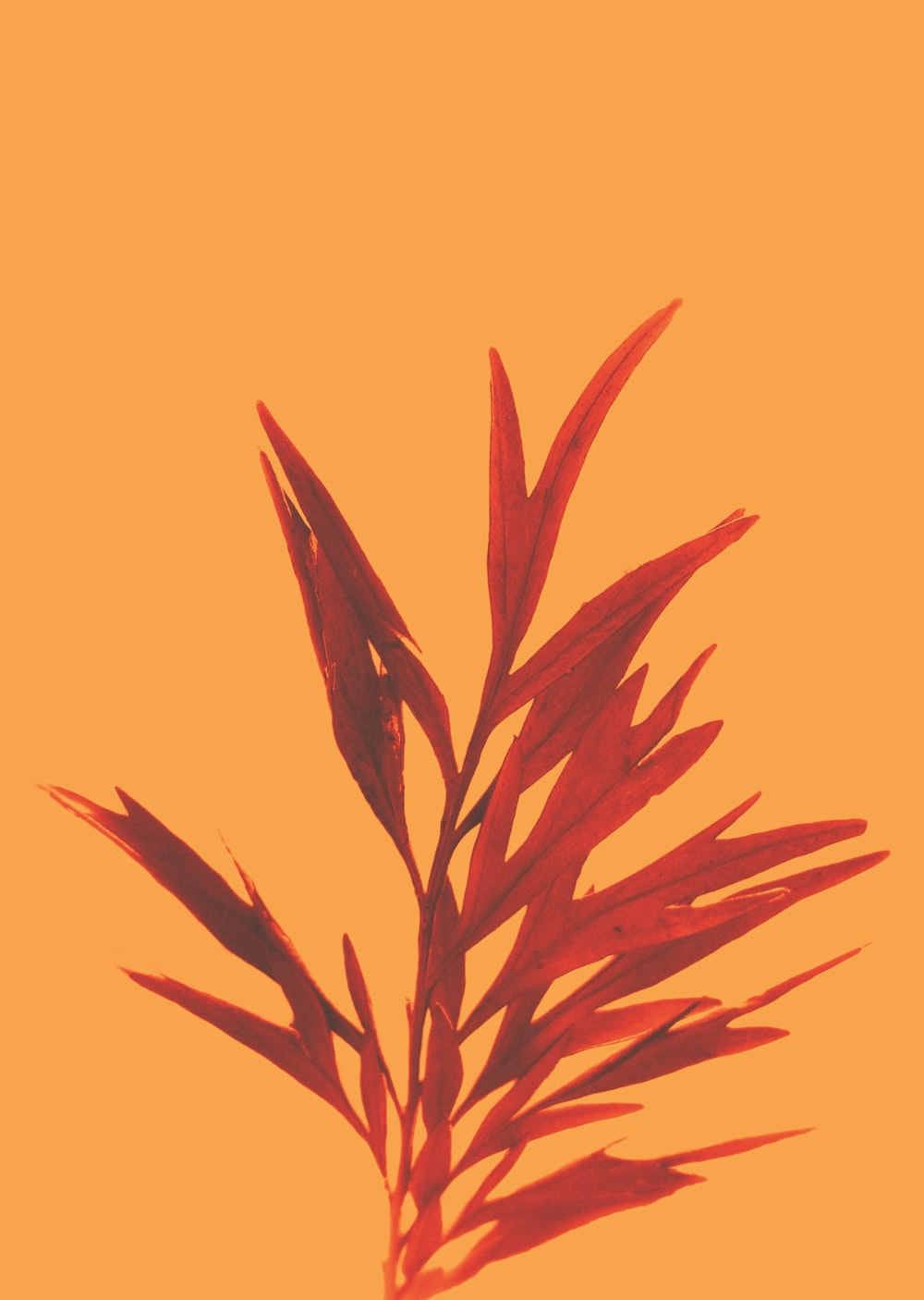 red leaf plant in yellow background