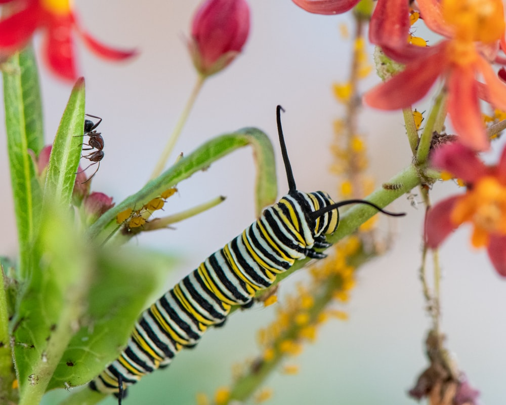 black and yellow caterpillar on green leaf