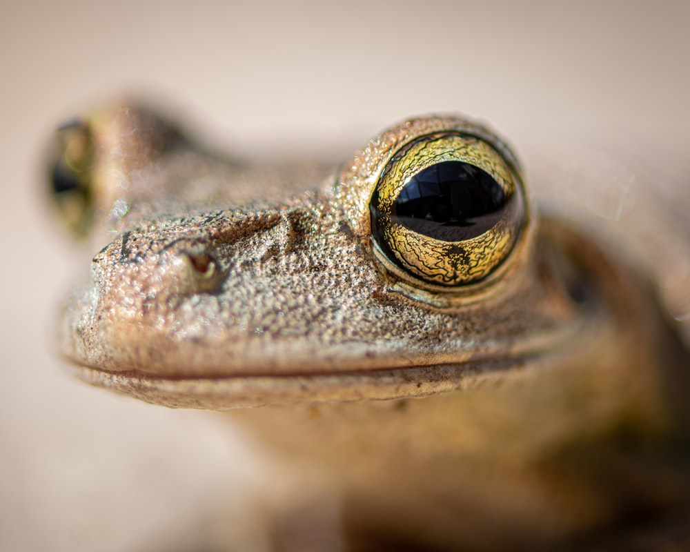brown frog in close up photography