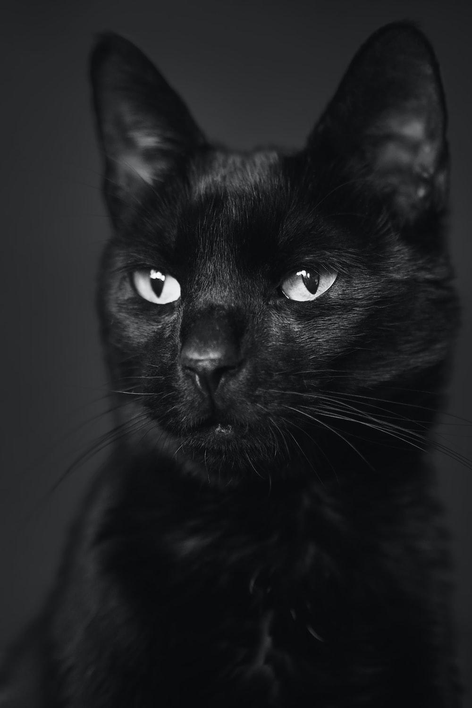 black cat in gray scale