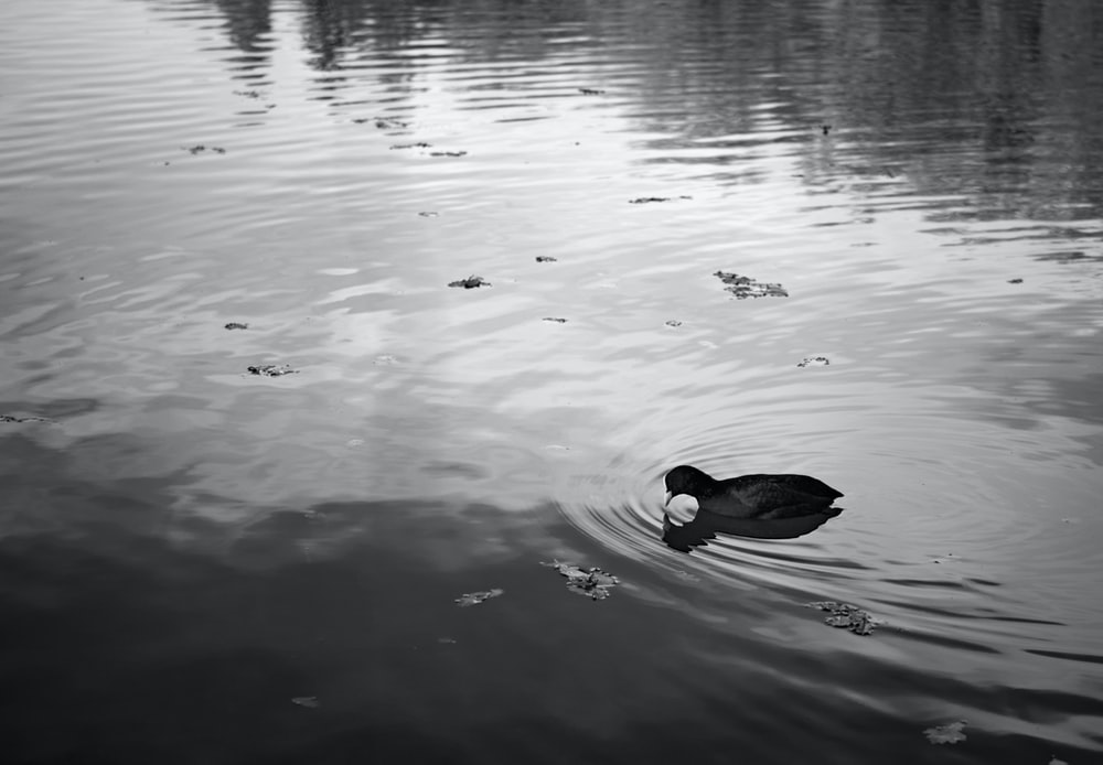 grayscale photo of duck on water