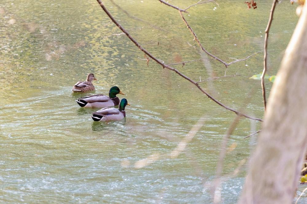 2 mallard ducks on water during daytime