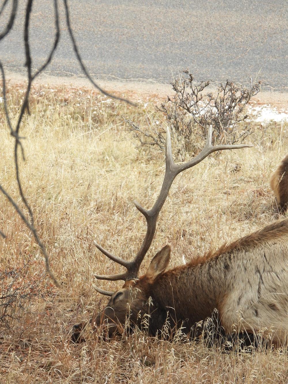 brown deer lying on brown grass during daytime