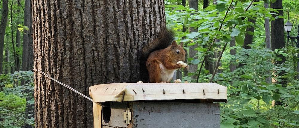 brown squirrel on white wooden box