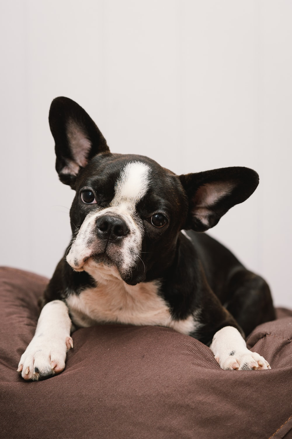 black and white short coated dog lying on brown textile