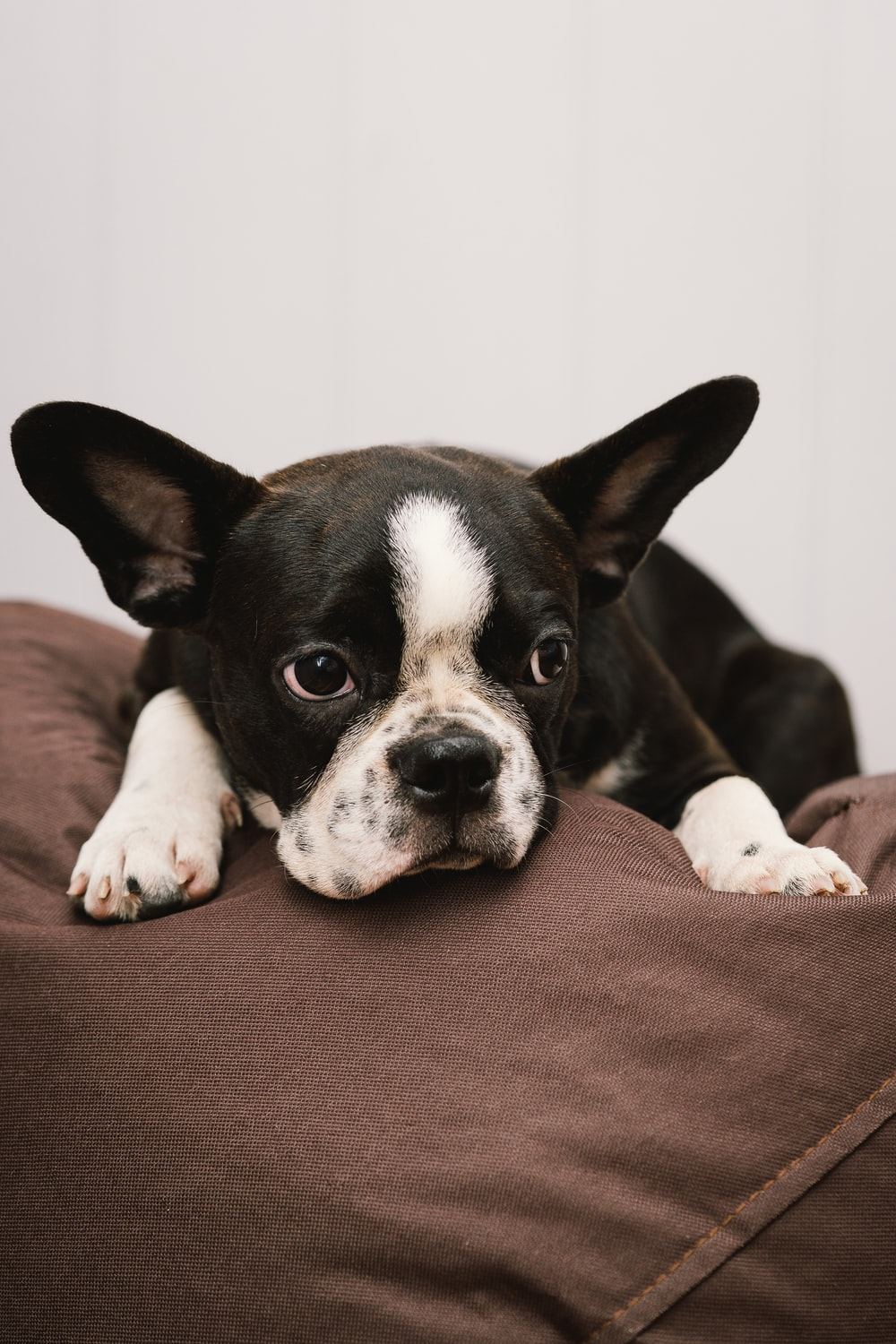 black and white boston terrier puppy lying on brown textile