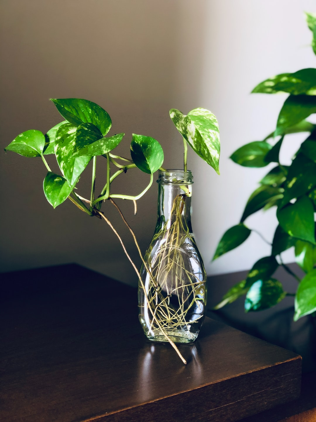 Eoipremnum, Philodendron, Scindapsus | 17 best free philodendron, plant,  leaf and flower photos on Unsplash