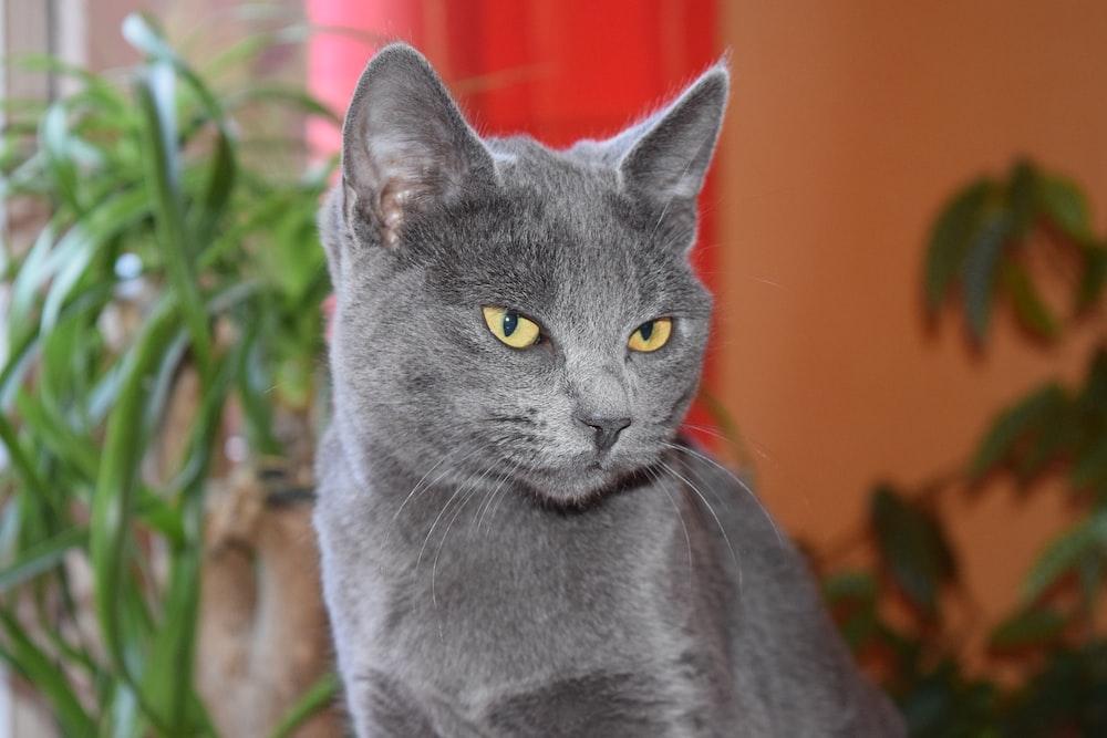 russian blue cat on green grass