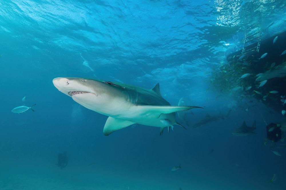 white and black shark under water