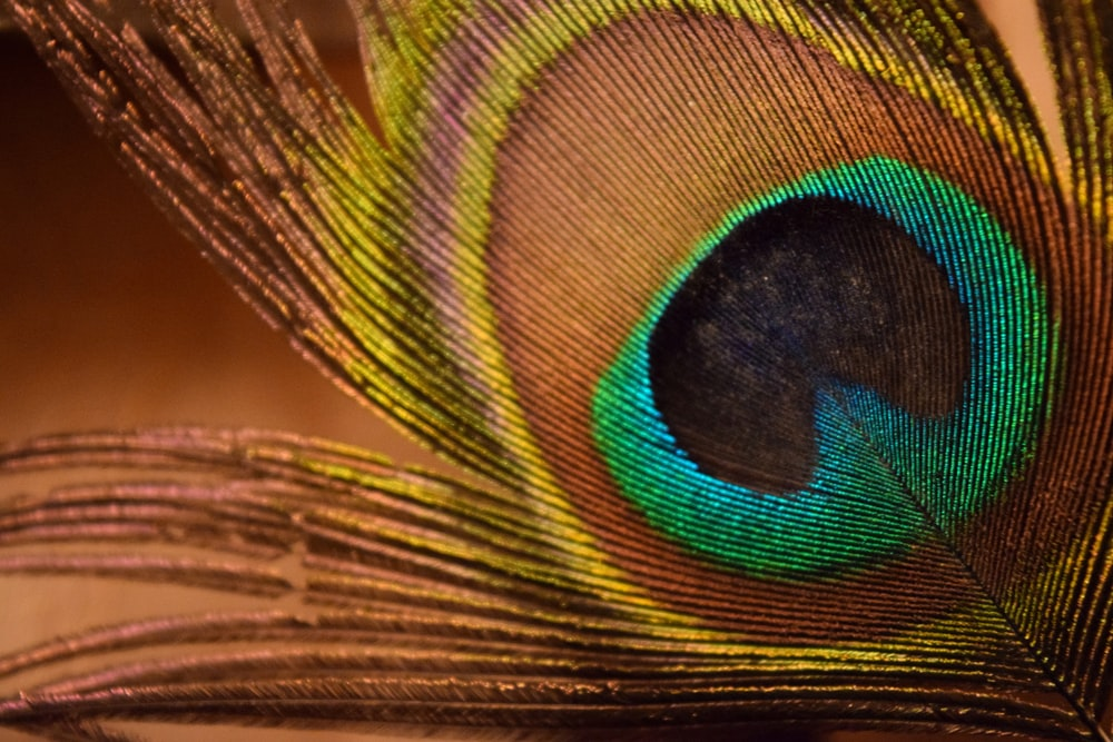 green and brown peacock feather