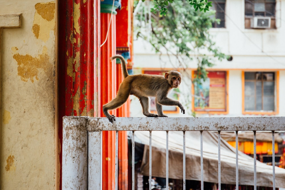 brown monkey on white wooden window during daytime