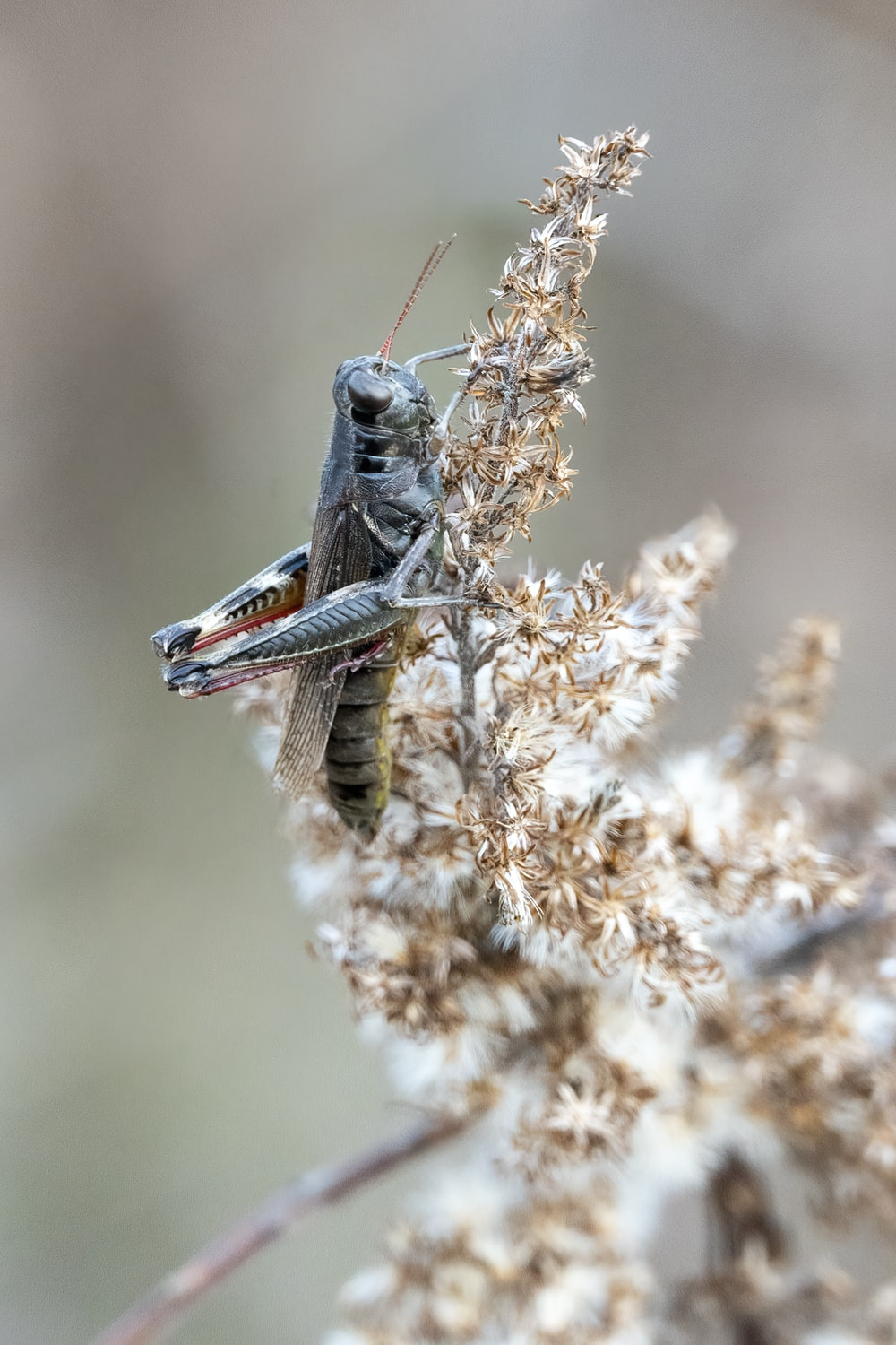 gray grasshopper perched on brown plant during daytime