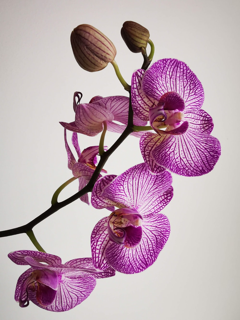 purple moth orchids in close up photography