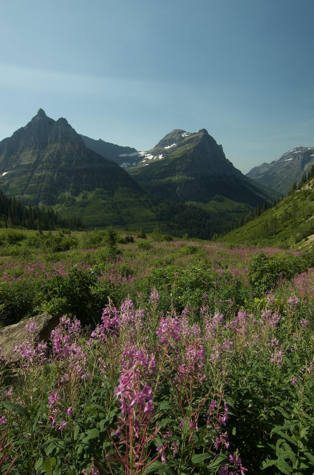purple flower field near green mountains during daytime
