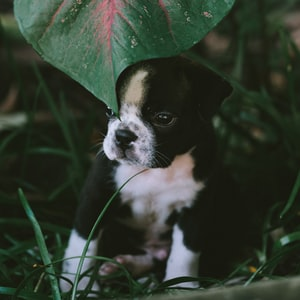 black and white short coated dog on green grass field