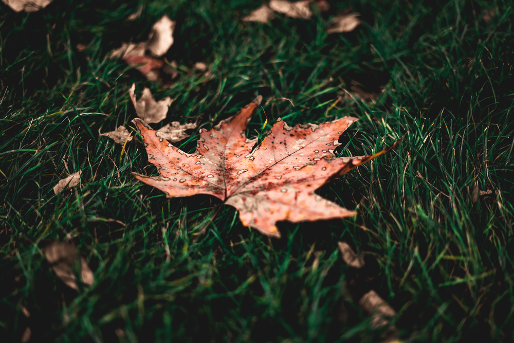 brown maple leaf on green grass