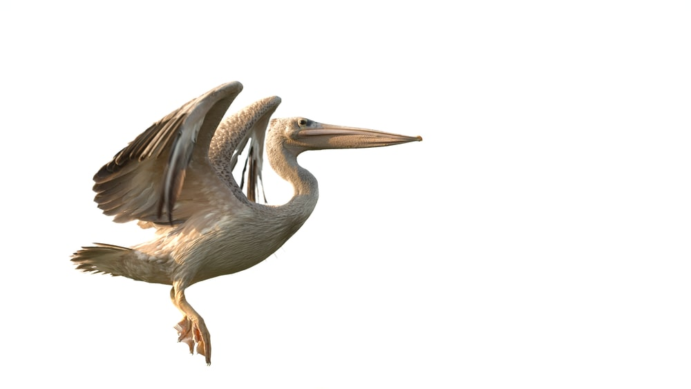 brown and white pelican bird