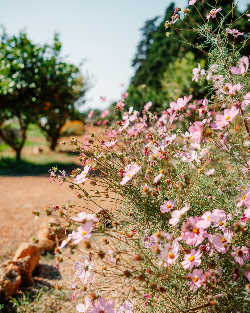 pink flowers on brown soil during daytime