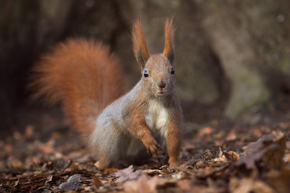 brown squirrel on brown ground