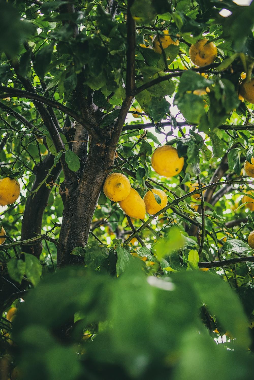 yellow lemon fruit on tree