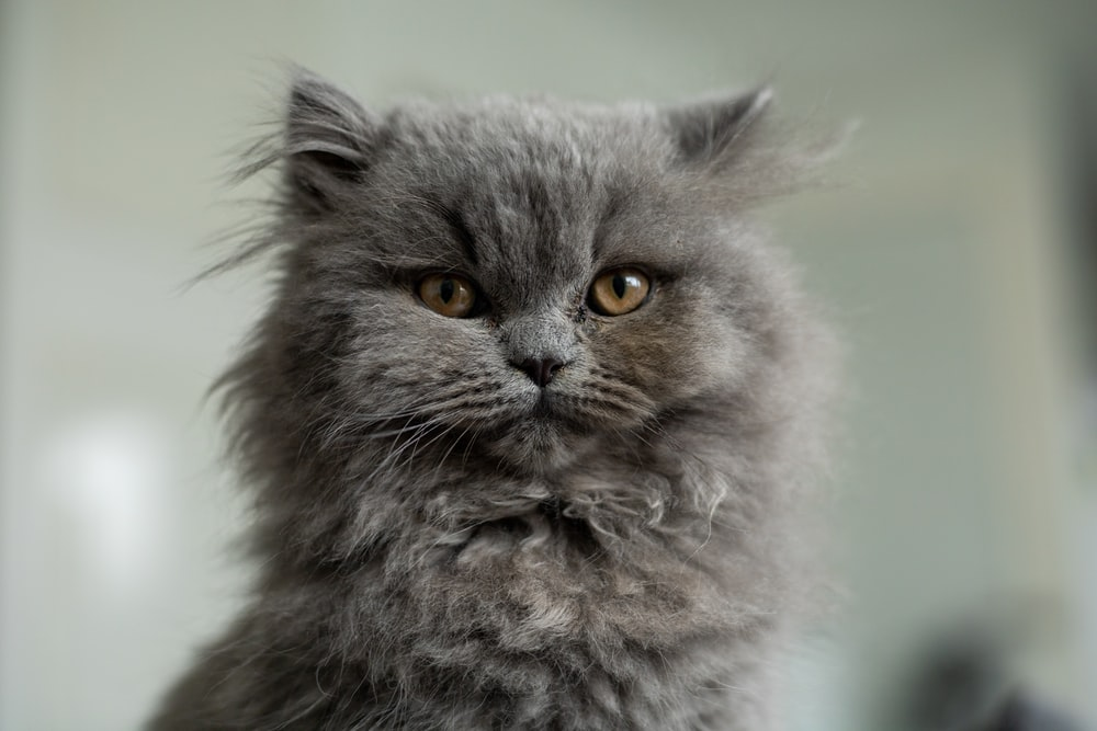 gray and white long fur cat