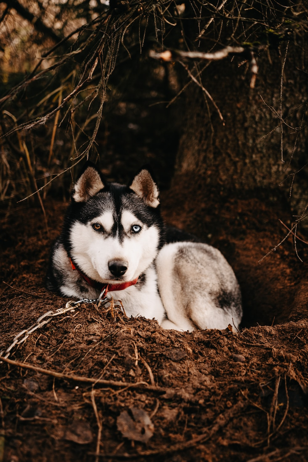 white and black siberian husky lying on brown dried leaves