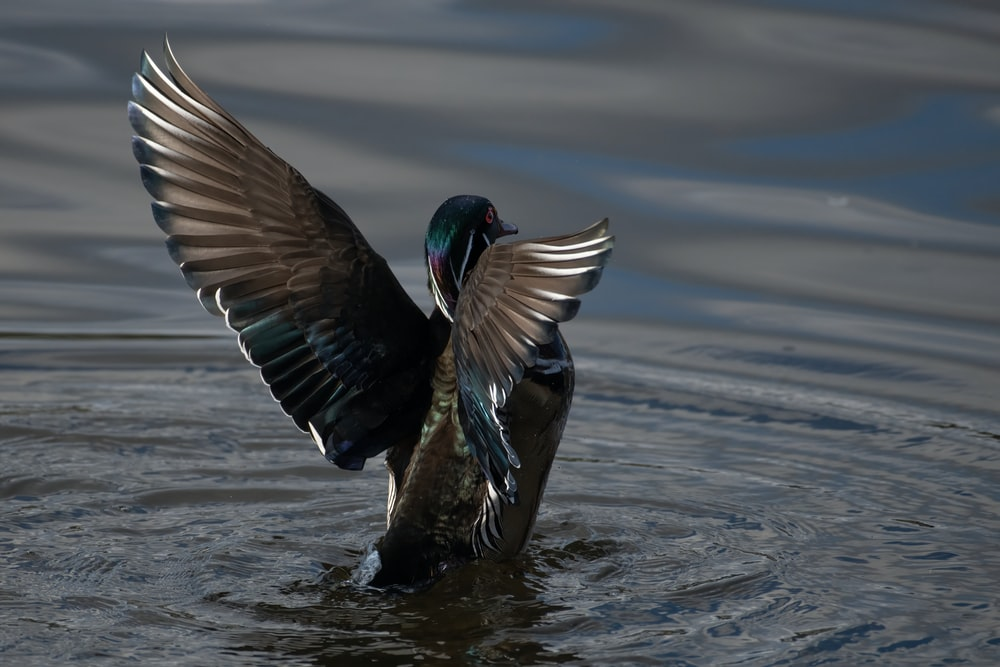 black and brown duck on water during daytime