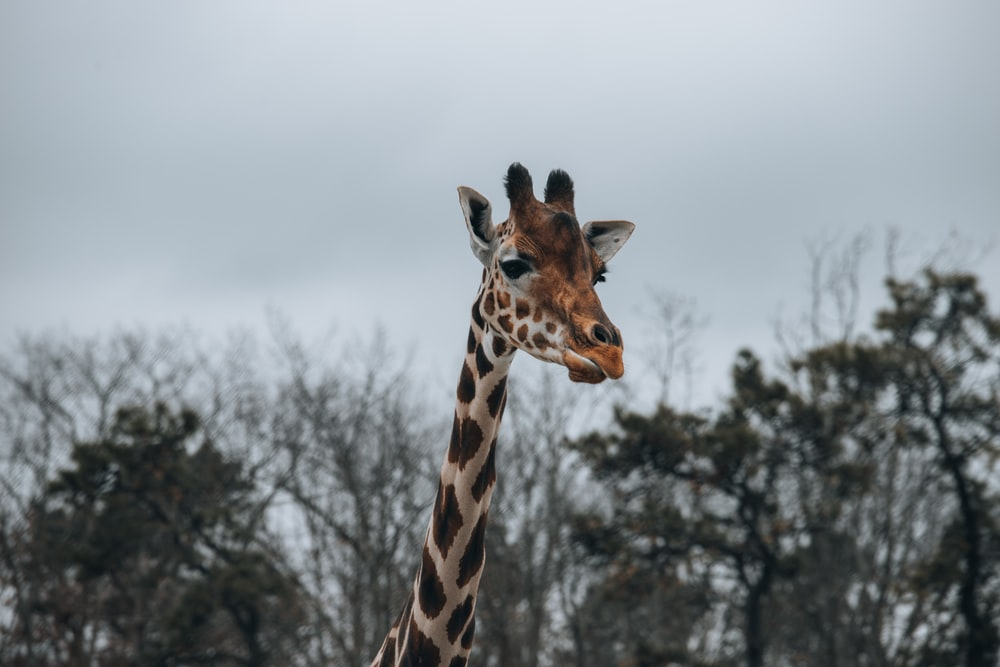 brown and black giraffe in close up photography