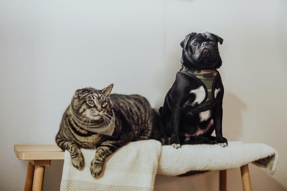 black pug on white textile