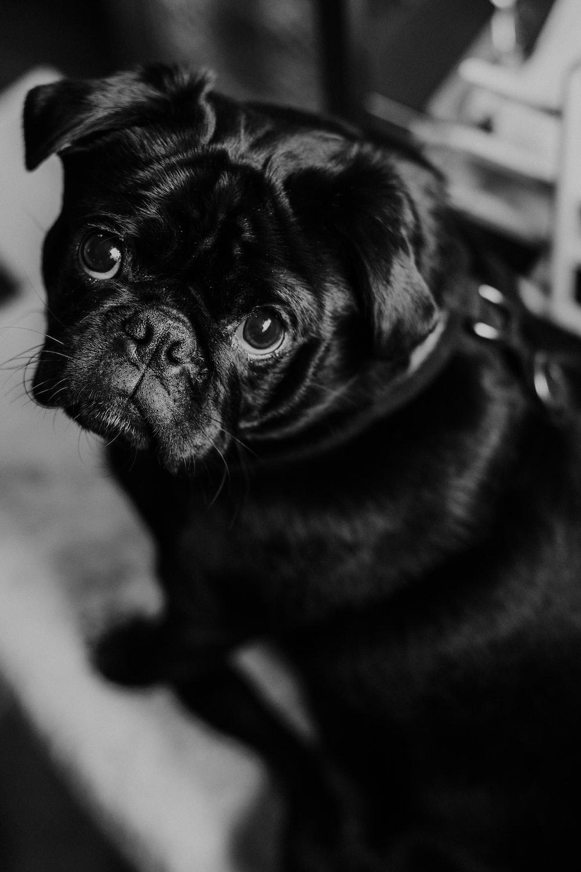 black pug in black and white