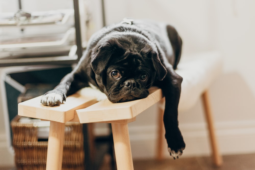black pug puppy on brown wooden chair