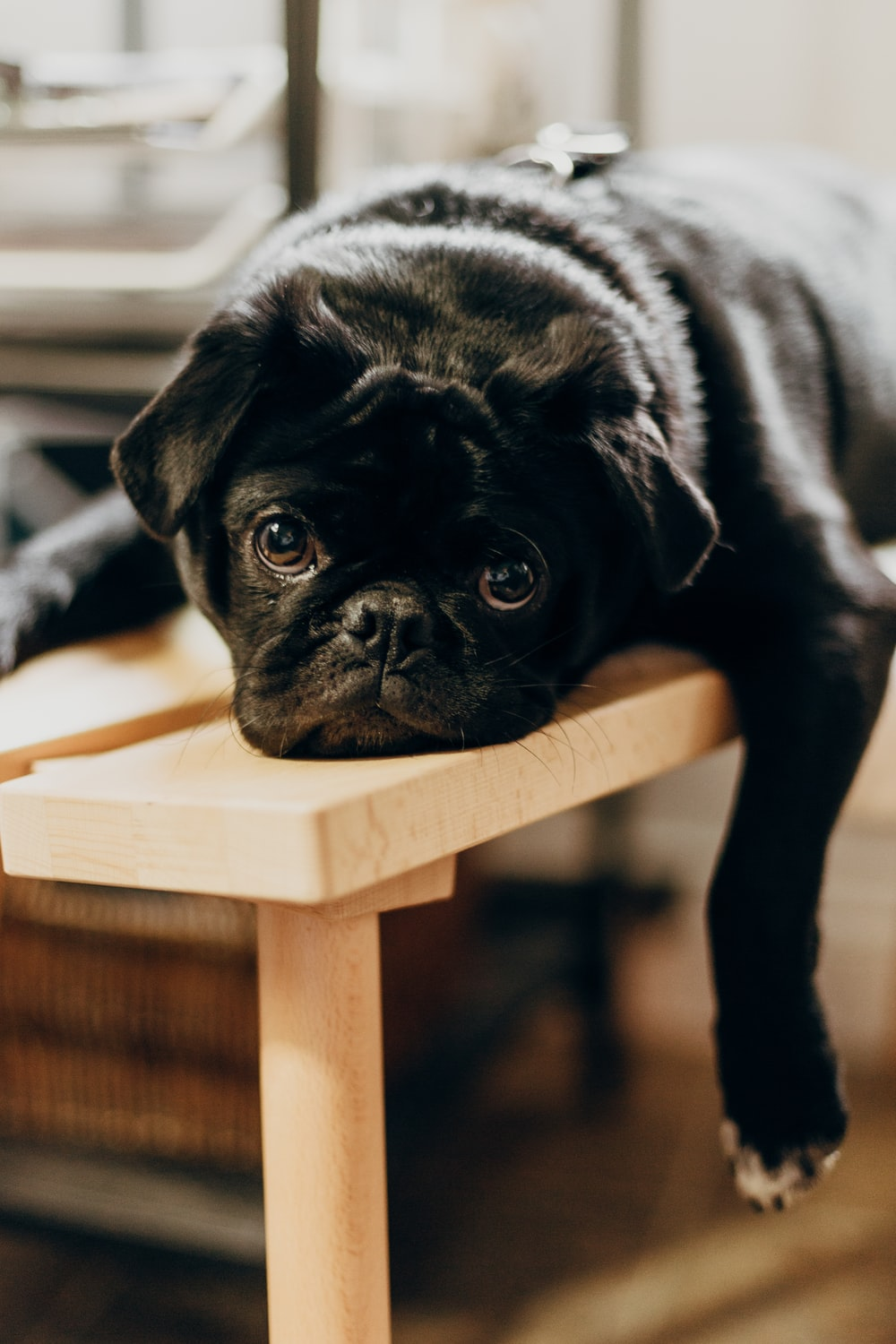 black pug on brown wooden chair