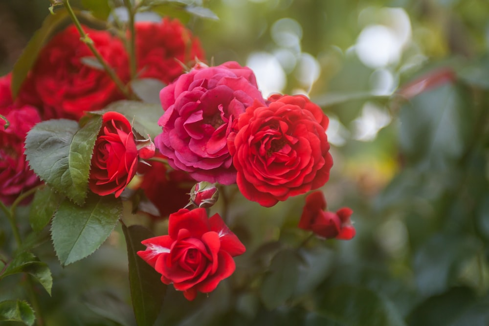 pink roses in bloom during daytime