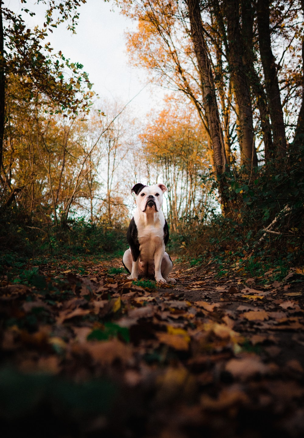 white and brown short coated dog on brown dried leaves