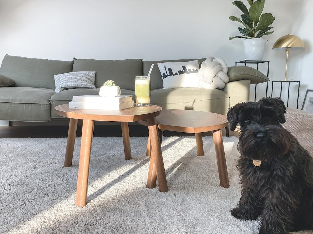 black long coated small dog on gray carpet