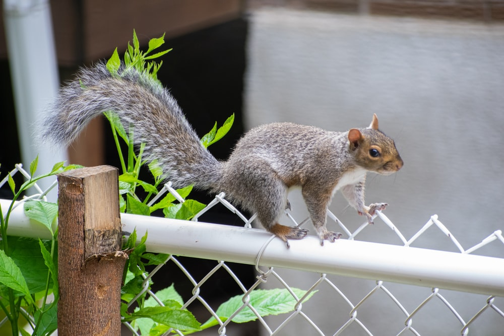 brown squirrel on white metal fence during daytime