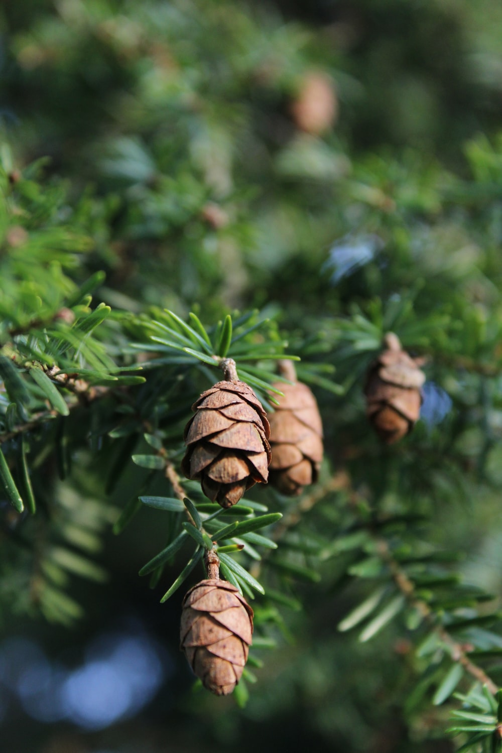 brown pine cone on green plant