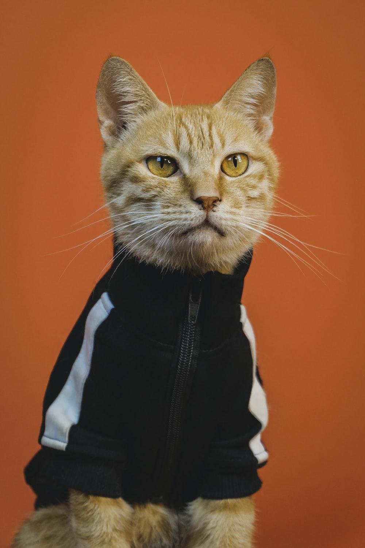 orange tabby cat in black and white jacket