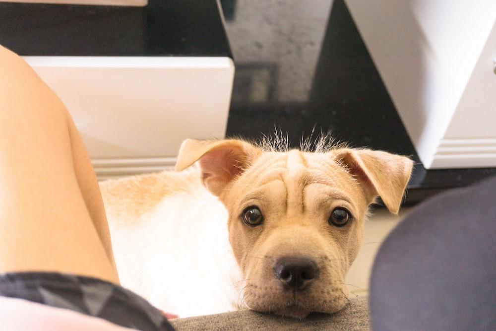 brown short coated dog lying on black textile