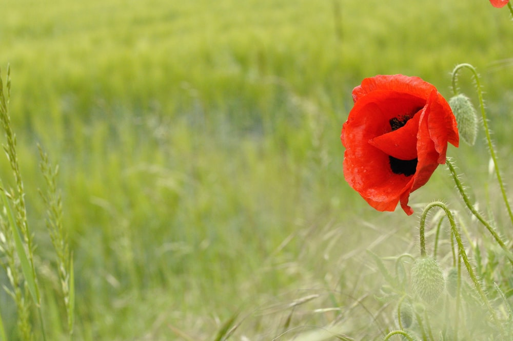 red flower in the middle of green grass field