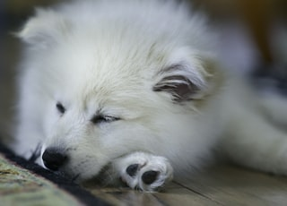 white long coated small dog