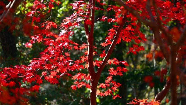 red and green maple tree