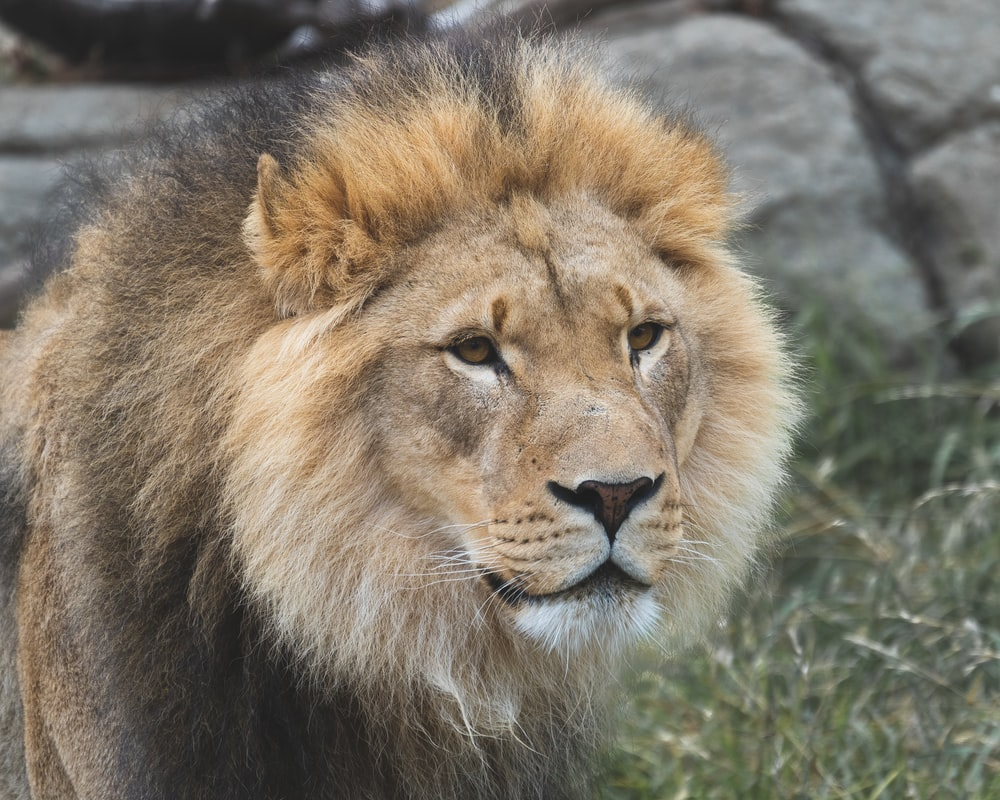 brown lion lying on green grass during daytime