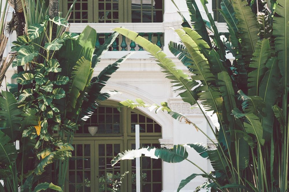 green banana tree near white concrete building