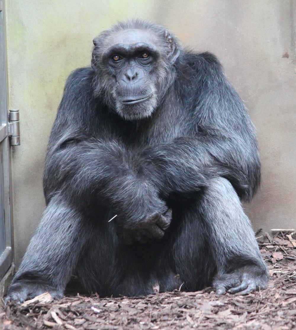 black gorilla sitting on brown wooden plank