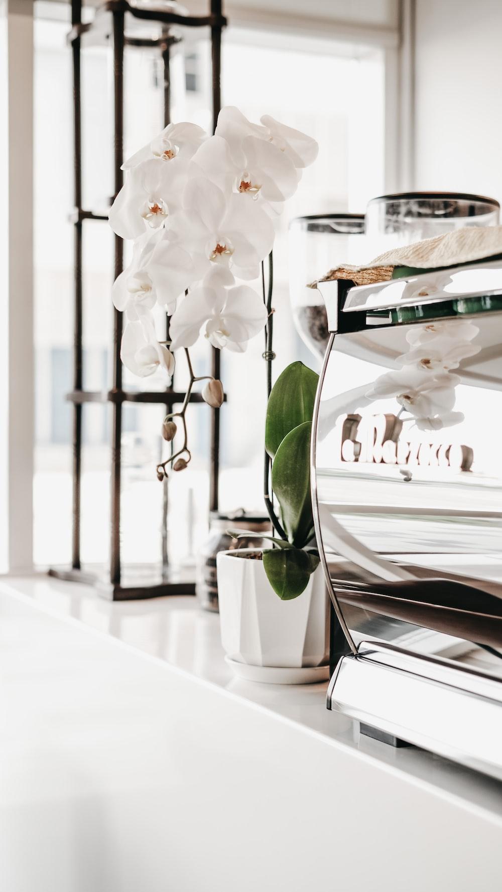 white moth orchids in white ceramic vase on table