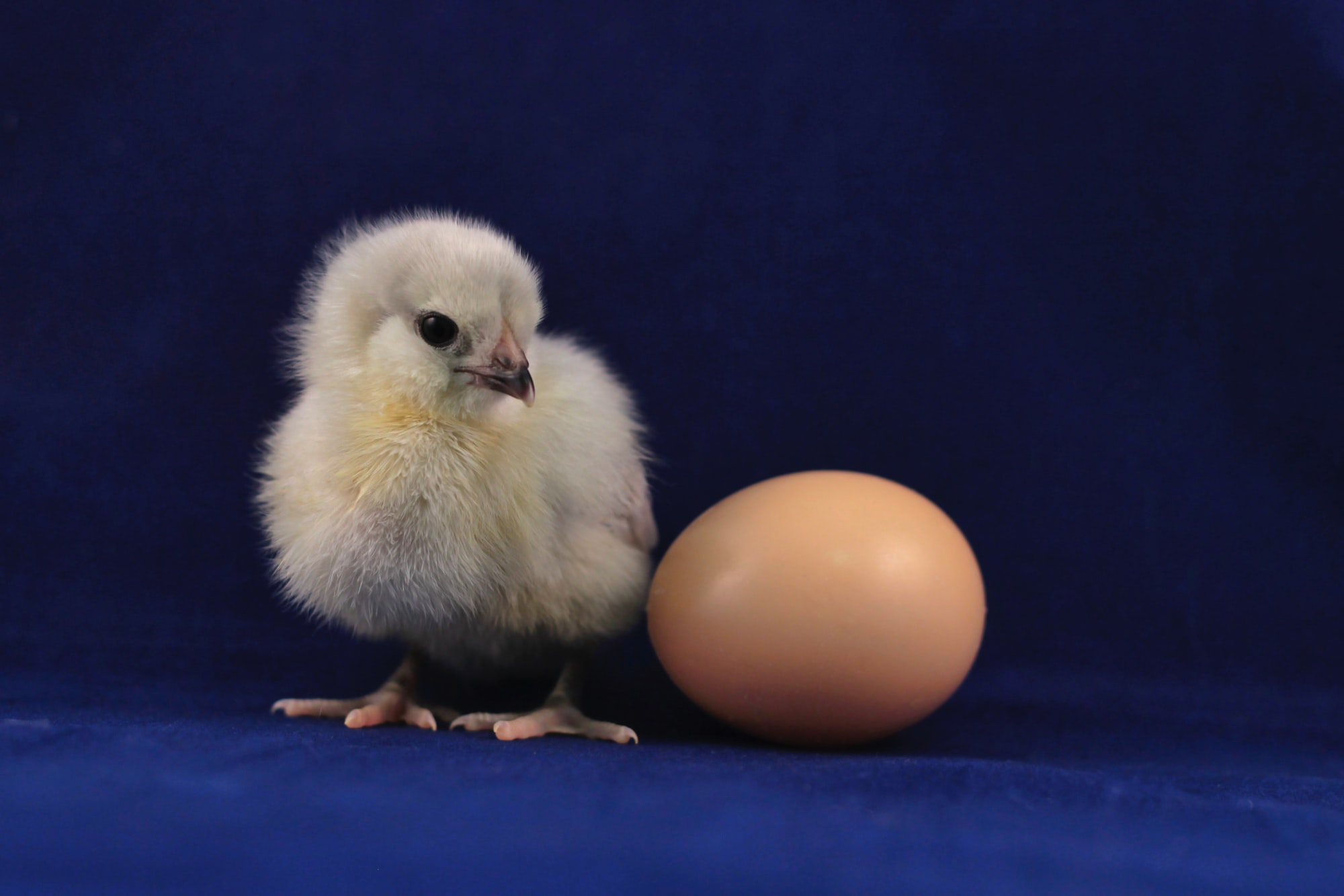 Baby lavender Ameraucana chicken